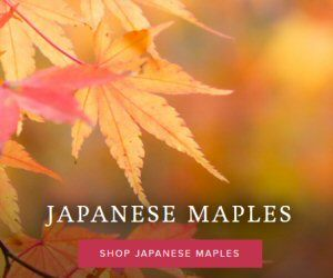 bnb japaness maple