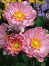 Anemone Pretty Lady Series