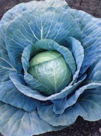 Hybrid Cabbage - Blue Vantage