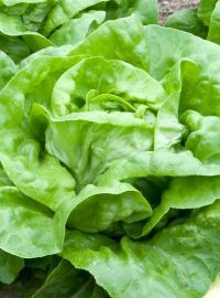 Buttercrunch / Boston Lettuce