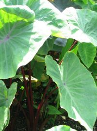 Colocasia / Elephant Ear