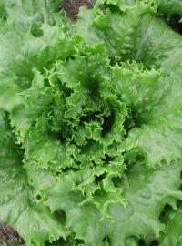 Green Leaf Lettuce - Two Star