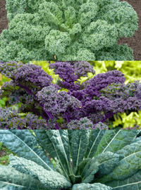 Kale - 3 Variety Mix