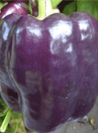 Purple Beauty Pepper