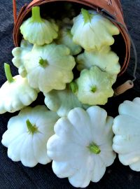 White Bush Scalloped Squash