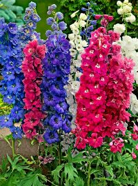 Delphinium e. Magic Fountains Mix