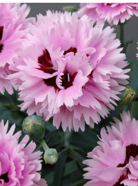 Dianthus Early Bird Series