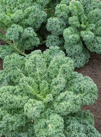 Kale - Winterbor