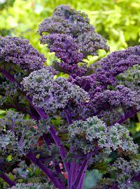 Kale - Redbor