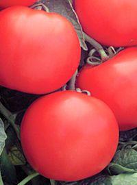 Bush Champion Tomato