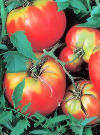 Oxheart Tomato