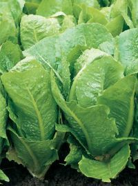 Romaine Lettuce - Green Towers