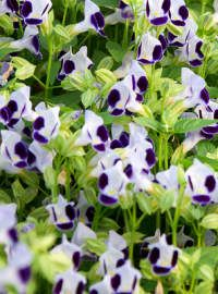 Torenia Clown